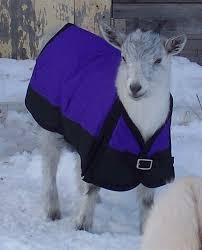 goats in coats